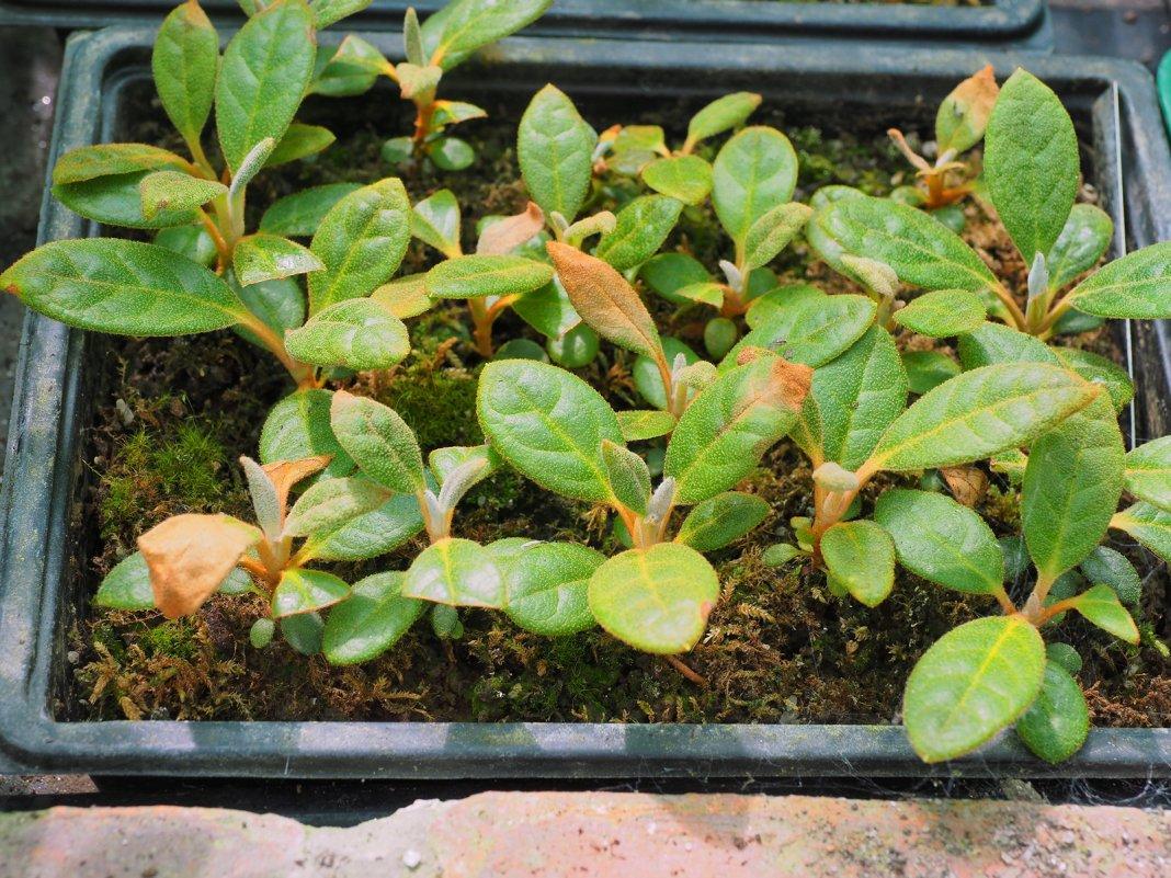 rododendron-foto-video-metody-razmnozheniya-8