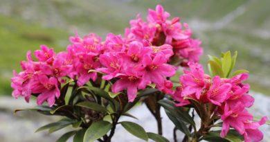 rododendron-foto-video-metody-razmnozheniya