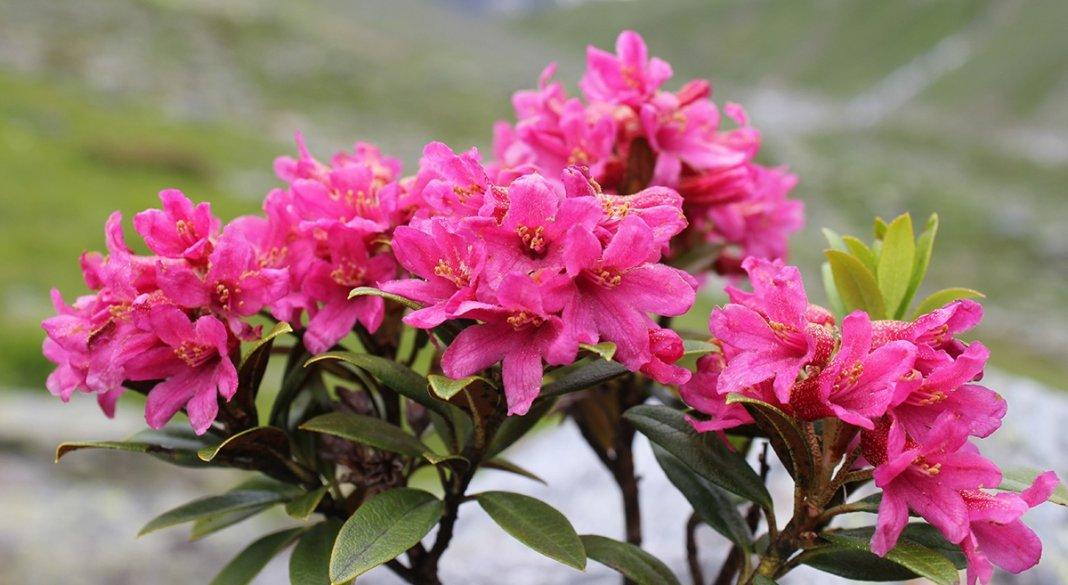 rododendron-foto-video-metody-razmnozheniya-1