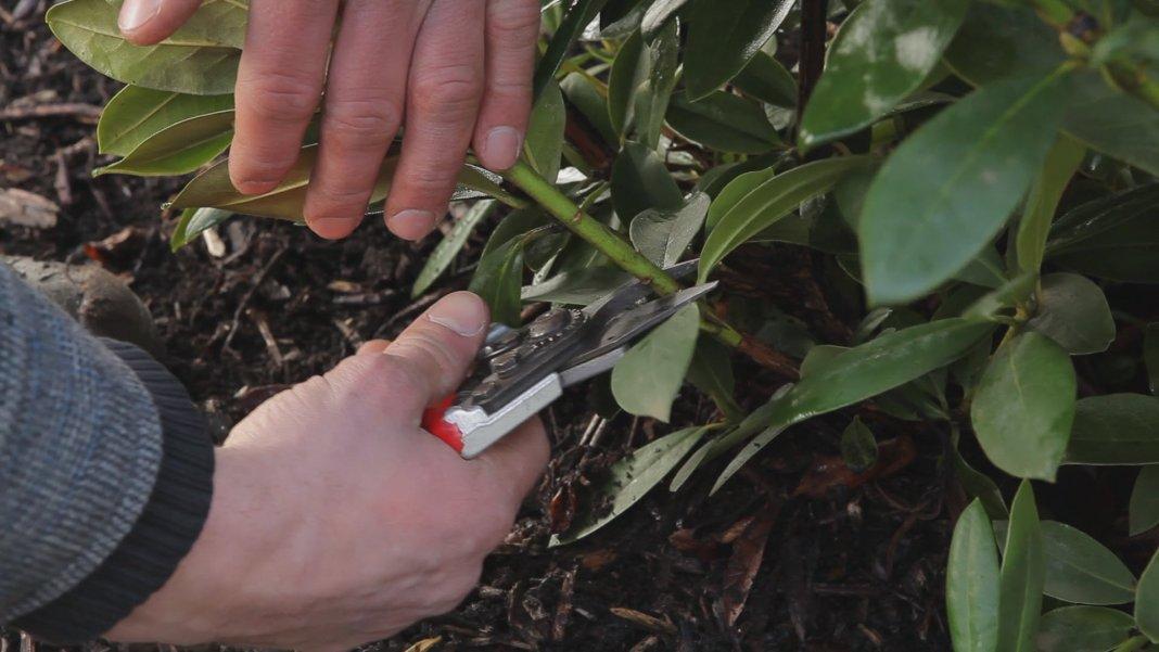 rododendron-foto-video-metody-razmnozheniya-22