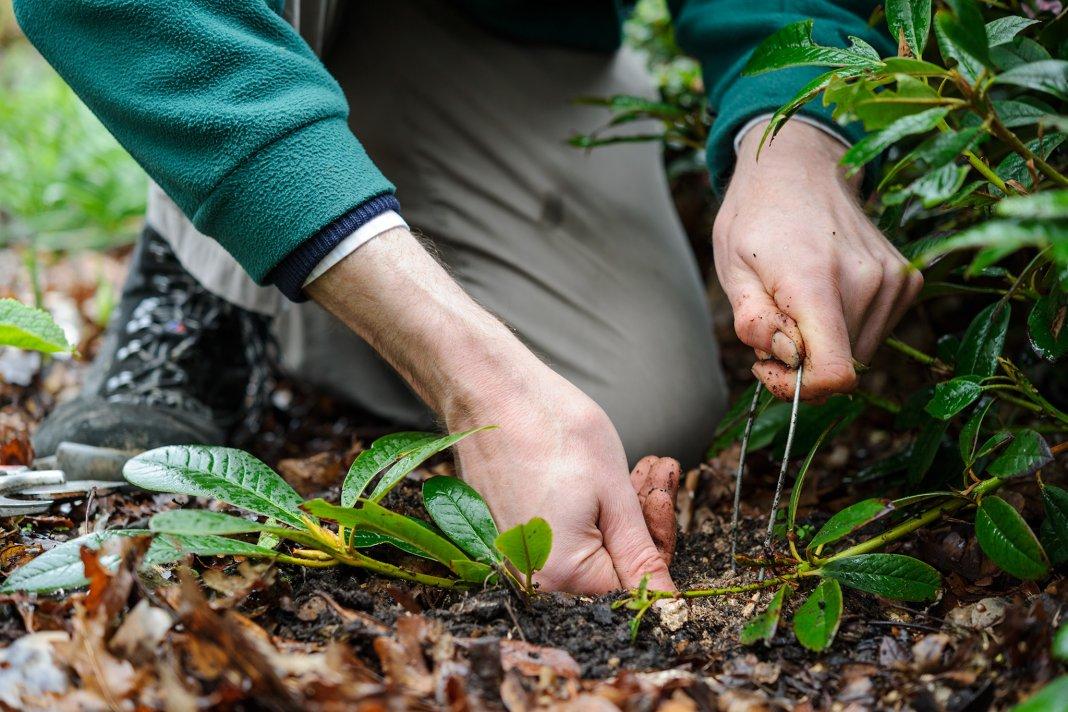 rododendron-foto-video-metody-razmnozheniya-6
