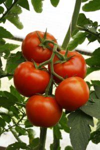 luchshie-novye-sorta-pomidor-tomaty-dlya-teplitsy-i-otkrytogo-grunta-02