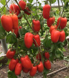 luchshie-novye-sorta-pomidor-tomaty-dlya-teplitsy-i-otkrytogo-grunta-03