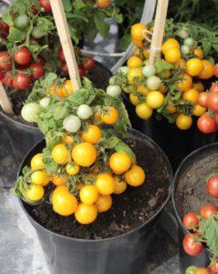luchshie-novye-sorta-pomidor-tomaty-dlya-teplitsy-i-otkrytogo-grunta-07