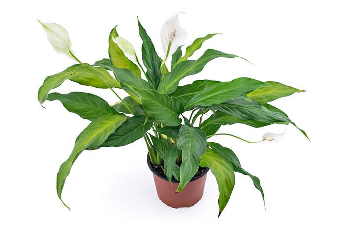 Почему не цветет спатифиллум, как помочь «женскому счастью»?