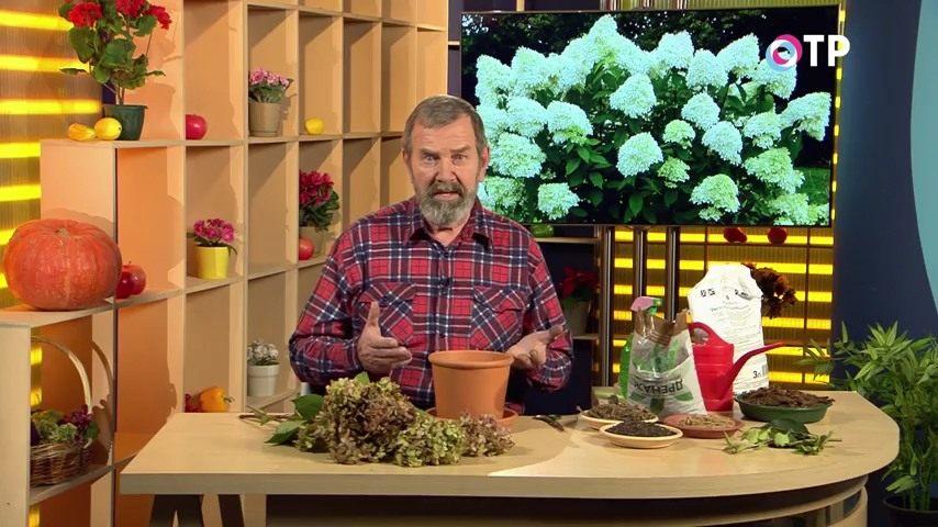 razmnozhenie-gortenzii-metelchatoj-odrevesnevshimi-cherenkami-osenyu-1