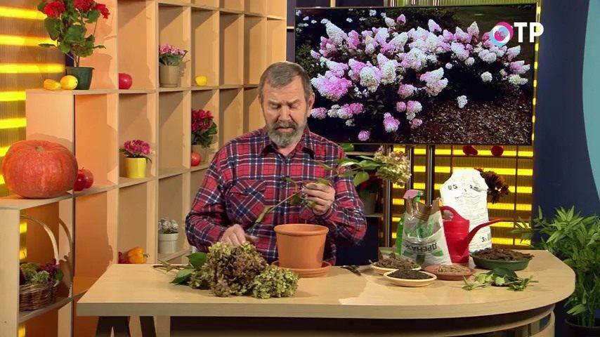 razmnozhenie-gortenzii-metelchatoj-odrevesnevshimi-cherenkami-osenyu-2