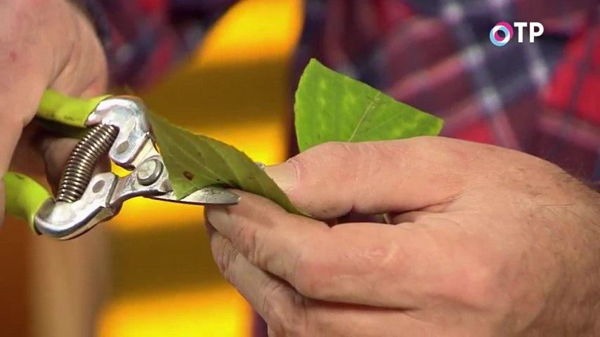 razmnozhenie-gortenzii-metelchatoj-odrevesnevshimi-cherenkami-osenyu-5