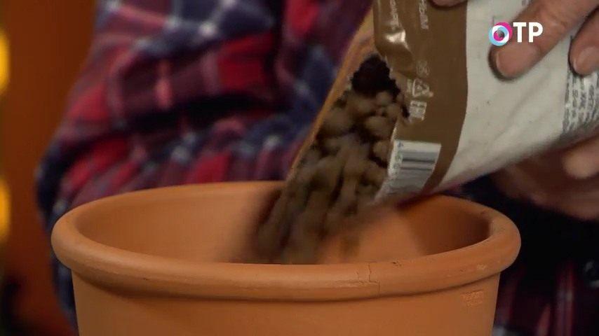 razmnozhenie-gortenzii-metelchatoj-odrevesnevshimi-cherenkami-osenyu-7