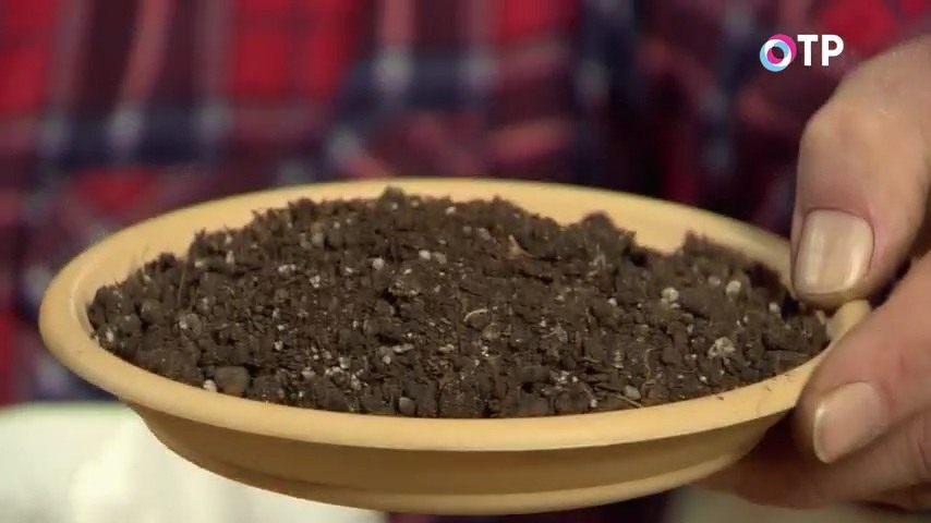 razmnozhenie-gortenzii-metelchatoj-odrevesnevshimi-cherenkami-osenyu-01
