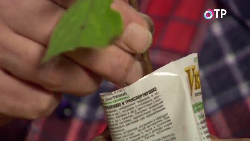 razmnozhenie-gortenzii-metelchatoj-odrevesnevshimi-cherenkami-osenyu-10