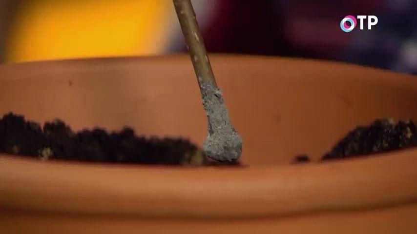 razmnozhenie-gortenzii-metelchatoj-odrevesnevshimi-cherenkami-osenyu-11