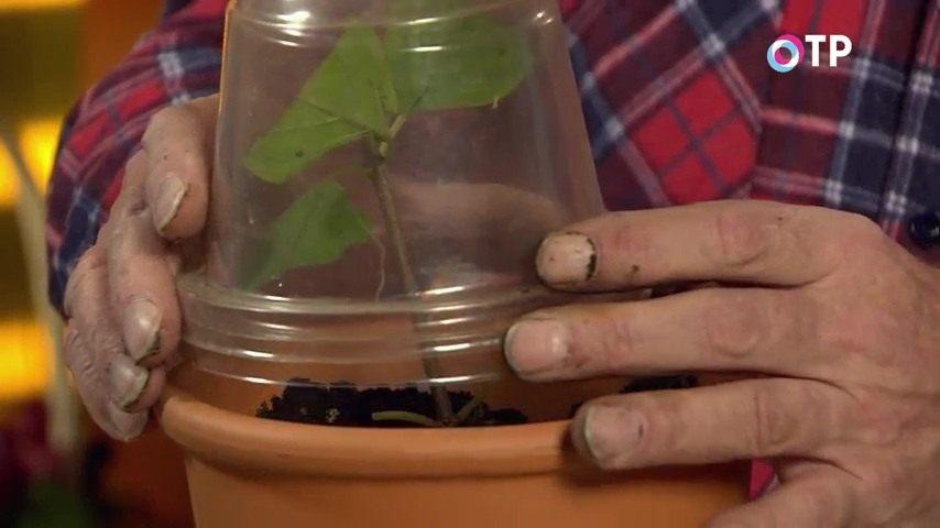 razmnozhenie-gortenzii-metelchatoj-odrevesnevshimi-cherenkami-osenyu-13