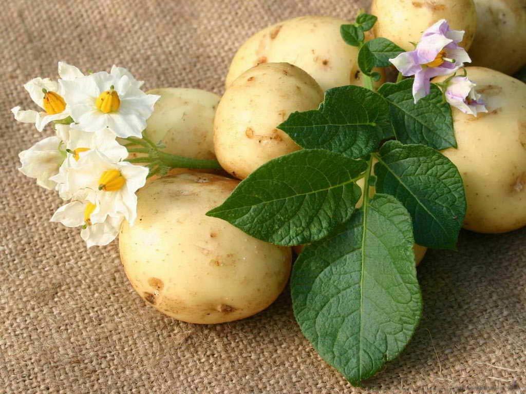 sposoby-vyrashhivaniya-kartofelya-podgotovka-i-vybor-sorta-1