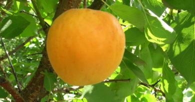 abrikos-goldrich-foto-otzyvy-opisanie-i-harakteristiki-sorta