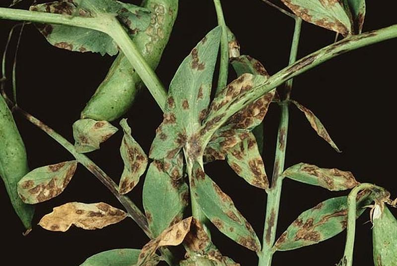 bolezni-goroha-prichiny-i-mery-borby-2