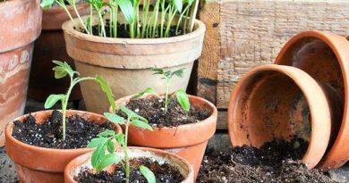 kak-pikirovat-pomidory-foto-video-sroki-poshagovaya-instruktsiya