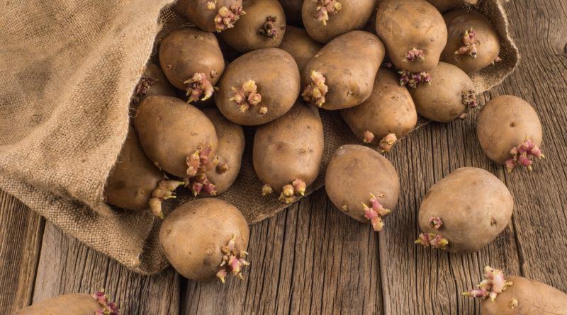 sposoby-vyrashhivaniya-kartofelya-podgotovka-i-vybor-sorta