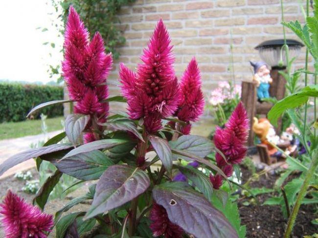Цветок амарант: описание и разновидности с фото выращивание из семян посадка и уход в открытом грунте