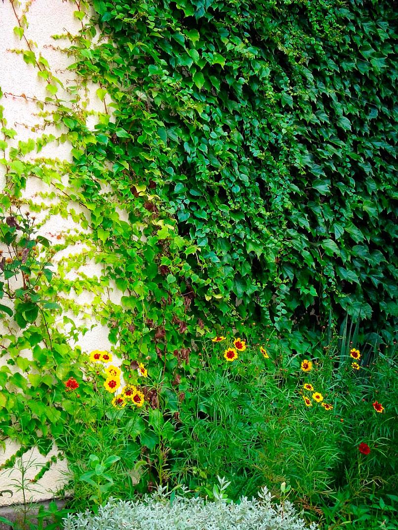 devichij-vinograd-foto-opisanie-vyrashhivanie-i-uhod-3