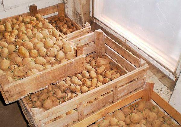 semennoj-kartofel-kak-podgotovit-semennoj-kartofel-k-posadke-5