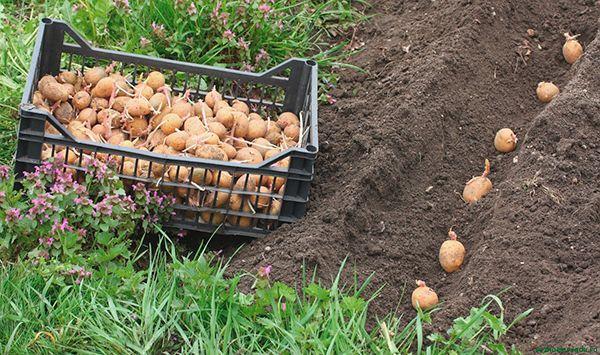 semennoj-kartofel-kak-podgotovit-semennoj-kartofel-k-posadke-11