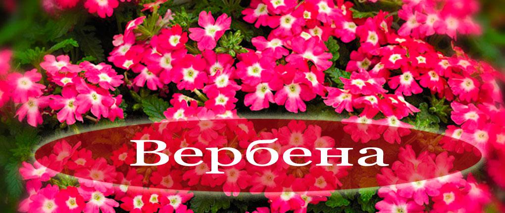 Цветок вербена посадка и уход