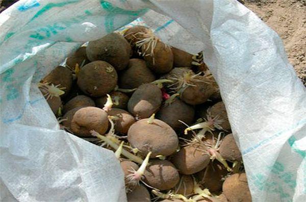 semennoj-kartofel-kak-podgotovit-semennoj-kartofel-k-posadke-1