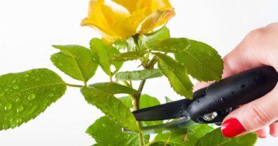 kak-obrezat-komnatnuyu-rozu-dopolnitelnye-i-sezonnye-protsedury