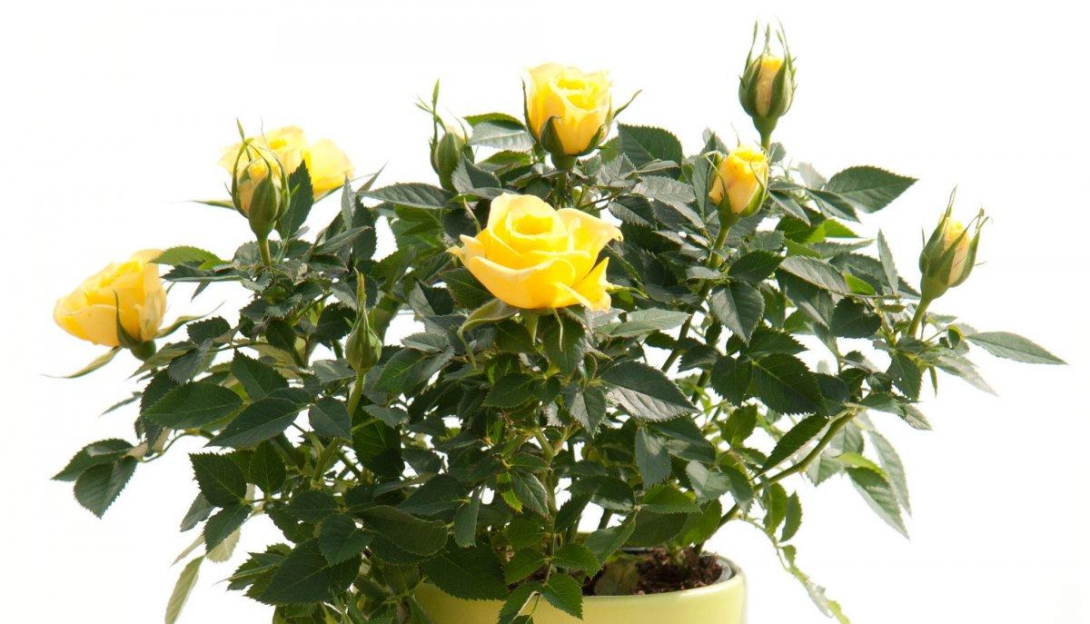 kak-obrezat-komnatnuyu-rozu-dopolnitelnye-i-sezonnye-protsedury-2