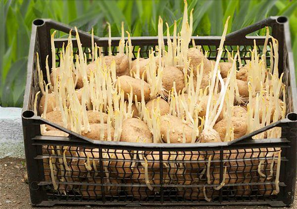 semennoj-kartofel-kak-podgotovit-semennoj-kartofel-k-posadke-9