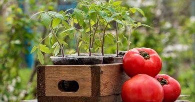 podgotovka-semyan-tomatov-k-posevu-na-rassadu