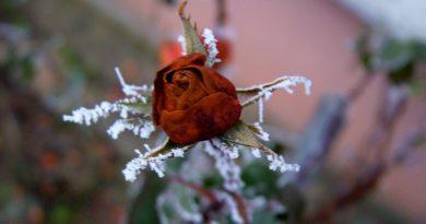 kak-sohranit-rozy-zimoj-sposoby-zashhity-i-uhod-za-rozami