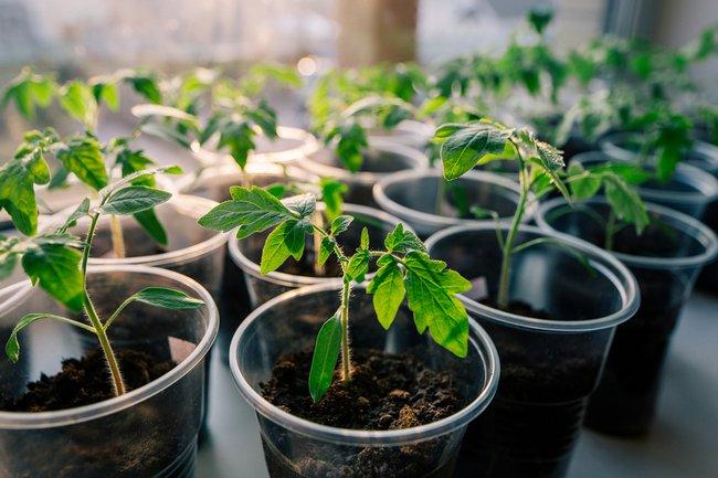 zamachivanie-semyan-v-vodke-zachem-nuzhno-zamachivat-semena-pomidor-11
