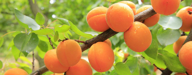 abrikos-goldrich-foto-otzyvy-opisanie-i-harakteristiki-sorta-2