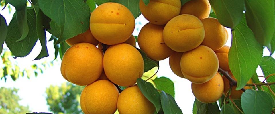 abrikos-goldrich-foto-otzyvy-opisanie-i-harakteristiki-sorta-3