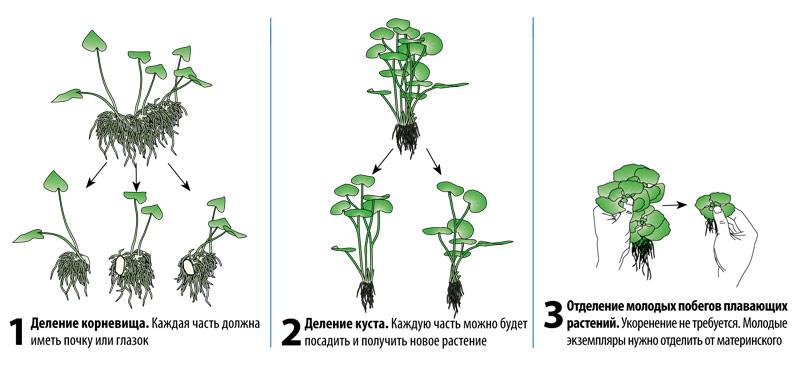 rasteniya-v-prudu-foto-opisanie-shemy-vysadki-i-razmnozhenie-9