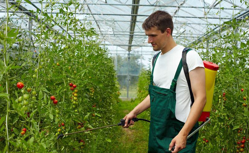 borba-s-fitoftoroj-sredstva-kak-spasti-pomidory-2