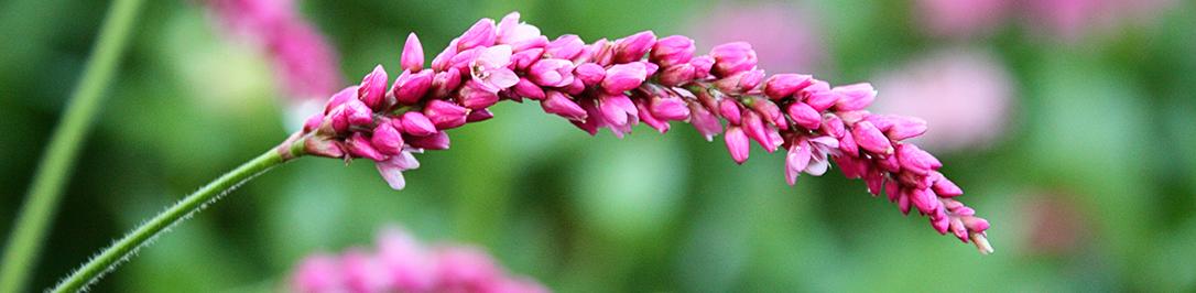 gorets-pochechujnyj-foto-opisanie-lechebnye-svojstva-1