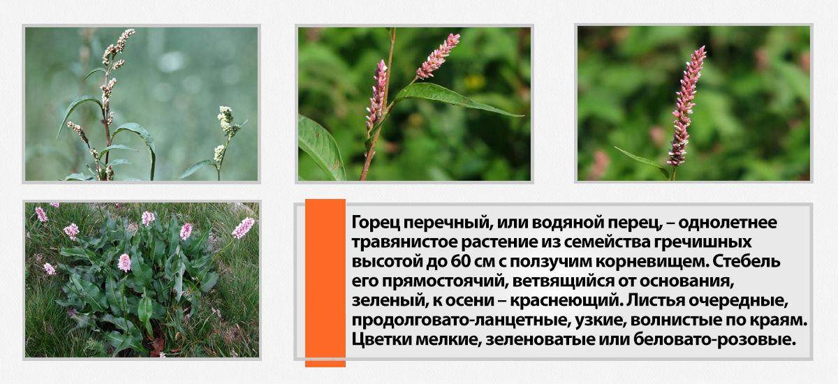 gorets-perechnyj-foto-poleznye-svojstva-tselebnye-kachestva-1