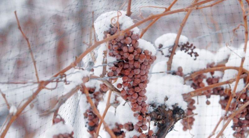 kak-ukryt-vinograd-na-zimu-podgotovka-vinograda-k-zimnim-holodam