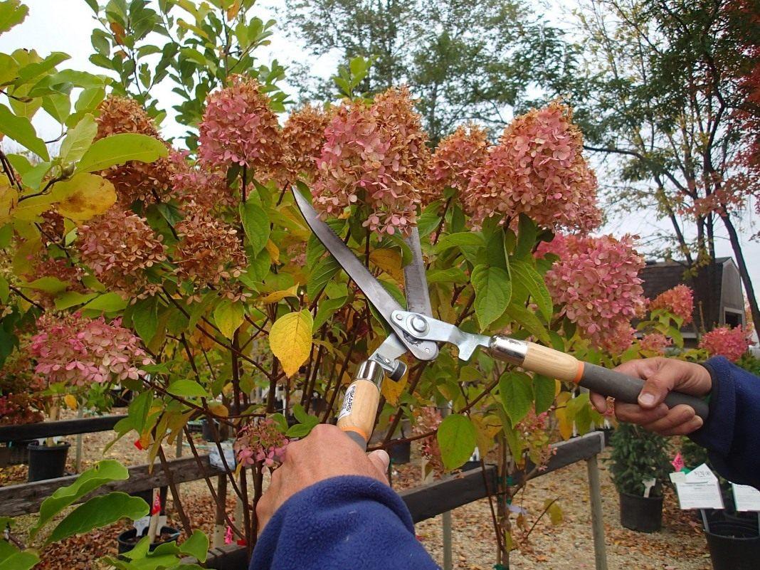 Как на зиму укрывать гортензию метельчатую (розовую)