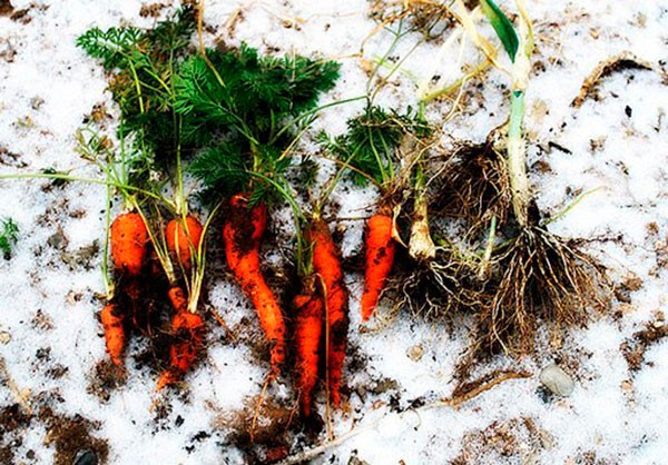 morkov-pod-zimu-posadka-morkovi-osenyu-pod-zimu-1