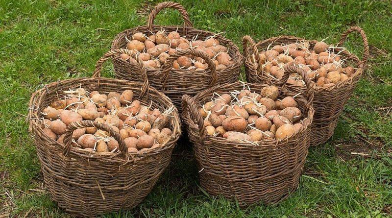 semennoj-kartofel-kak-podgotovit-semennoj-kartofel-k-posadke