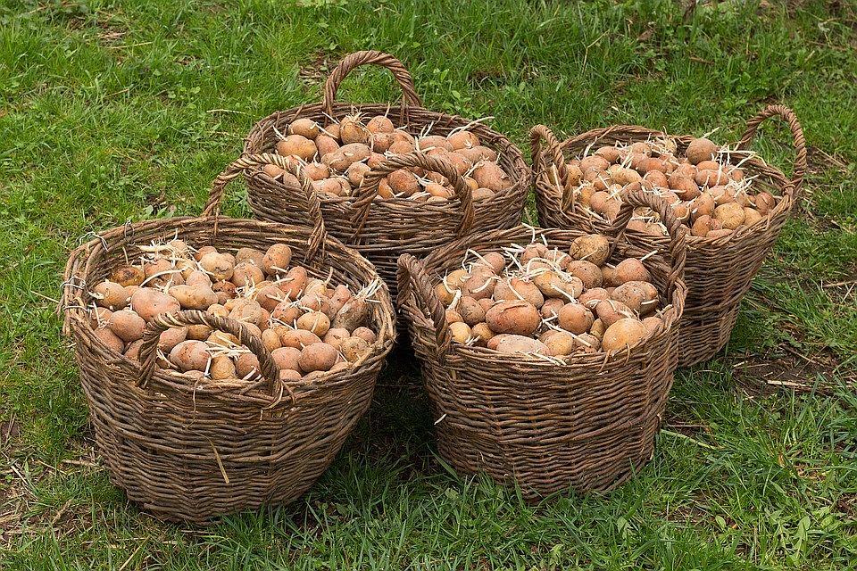 semennoj-kartofel-kak-podgotovit-semennoj-kartofel-k-posadke-55