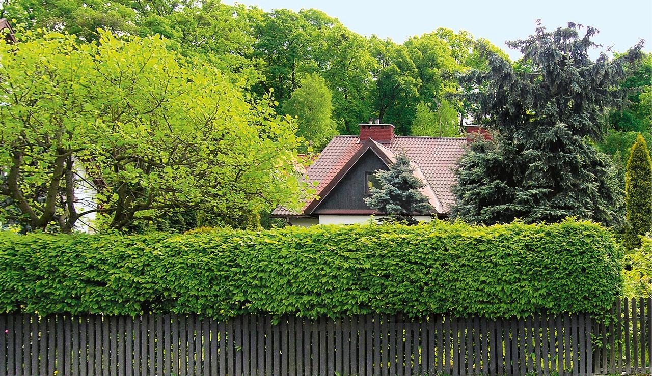 молодой зеленый забор живая изгородь на даче фото сварщика барнауле