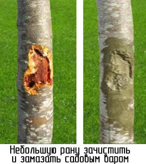 obrezka-derevev-postradavshih-ot-morozov-09