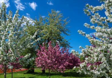 Декоративные яблони в ландшафтном дизайне: фото, описание, популярные сорта