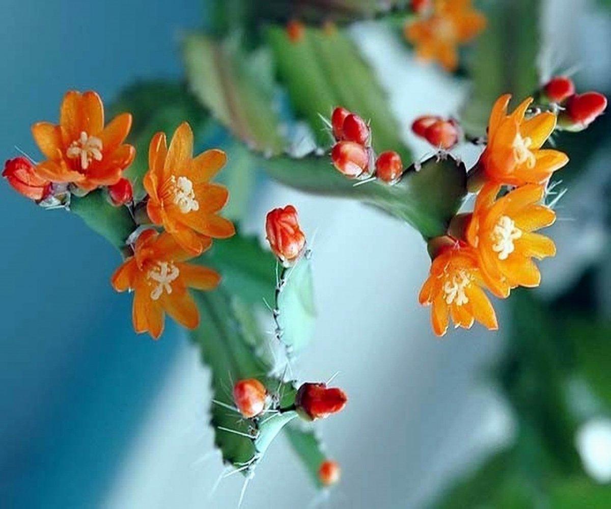 lesnoj-kaktus-foto-opisanie-vyrashhivanie-i-uhod-1