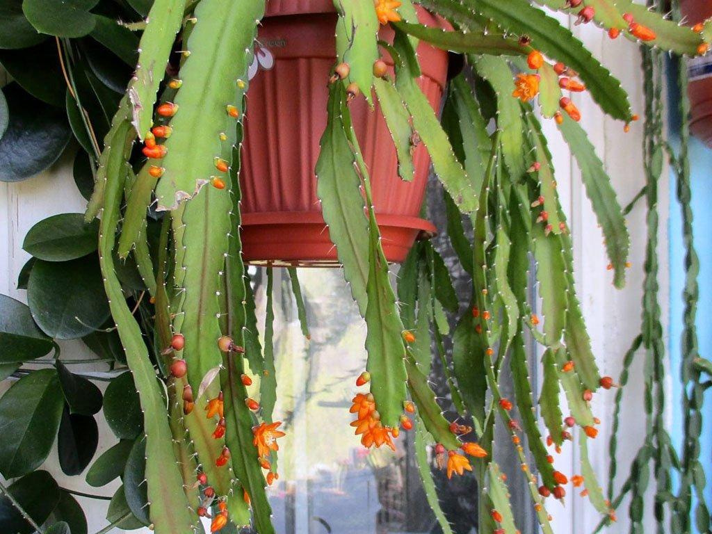 lesnoj-kaktus-foto-opisanie-vyrashhivanie-i-uhod-2